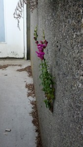 A snap dragon impossibly growing out of my parents' driveway wall.