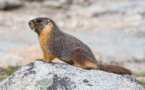 This is a marmot. That is all.